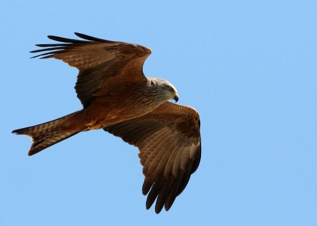 Black kite - Milvus migrans - Milano negro - Milà negre
