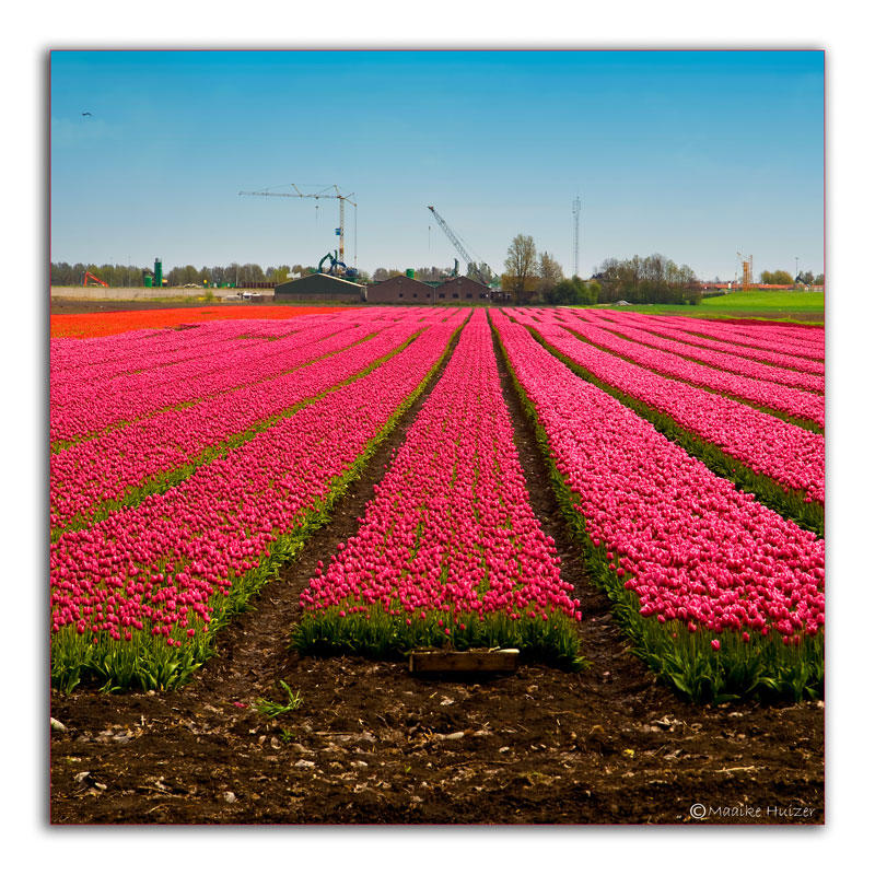 May 6th: Business at the end of a tulipfield