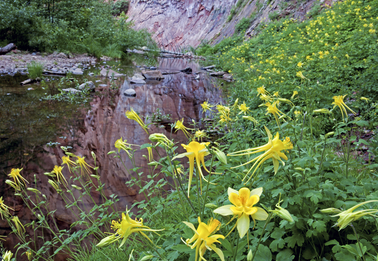 Columbine at West Fork of Oak Creek Canyon, AZ