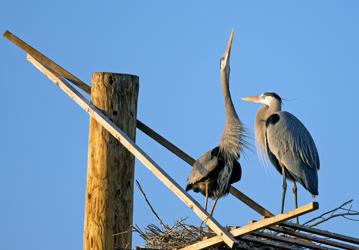 Great Blue Herons on nesting platform