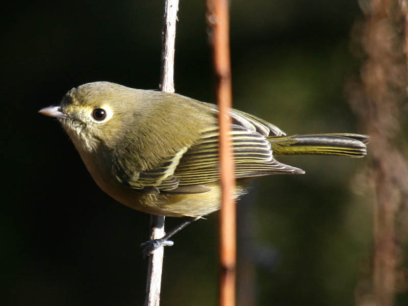 Huttons Vireo Overview All About Birds Cornell Lab of