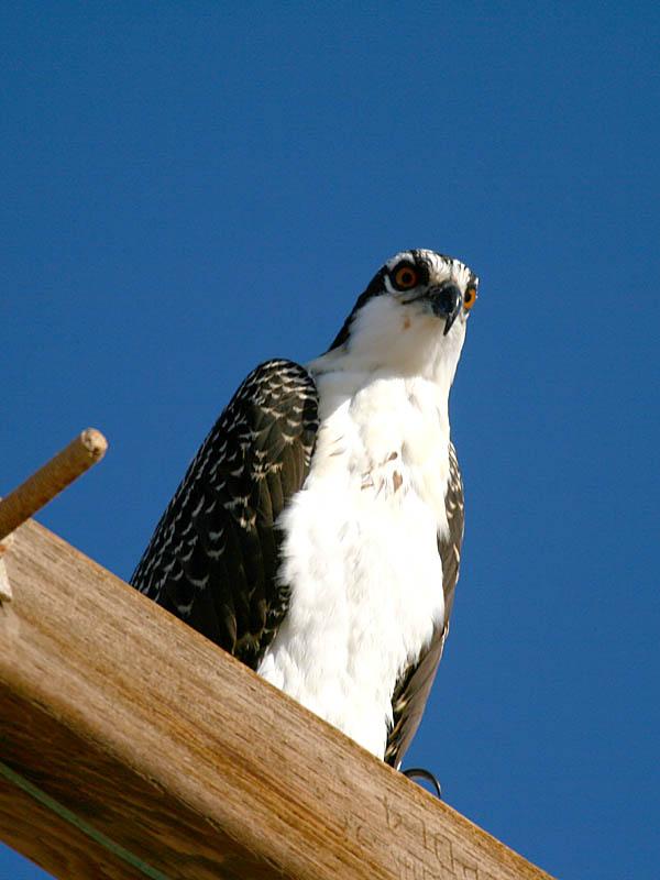 IMG_3537_osprey.jpg