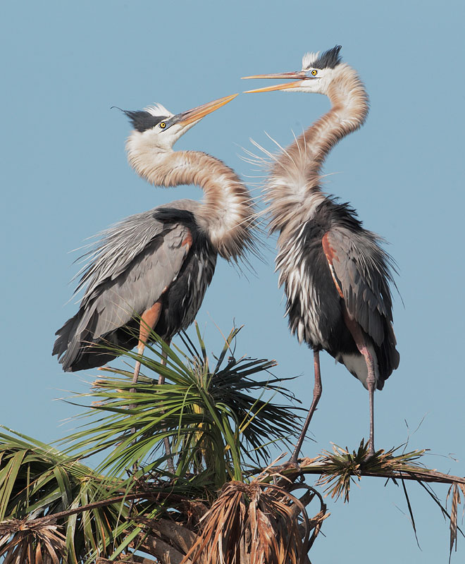 Great Blue Herons, bill clapping