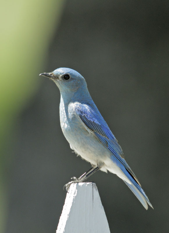 Mountain Bluebird, male