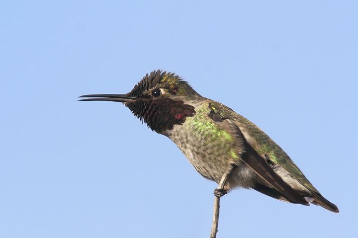 Annas Hummingbird, male