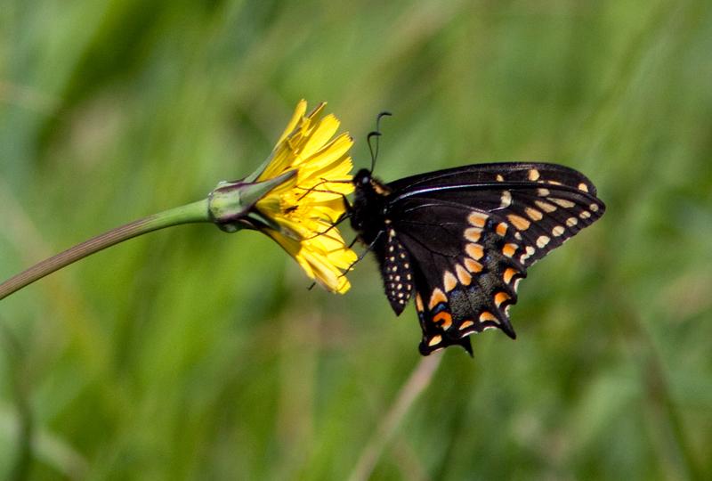 Papillon queue courte - Shorttailed Swallowtail- Papilio brevicauda bretonensis