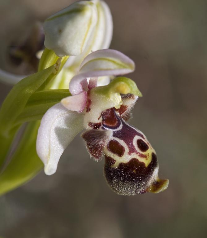 Ophrys kotschyi 5.jpg