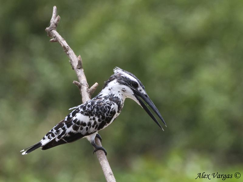 Pied Kingfisher -- 2009 - 3