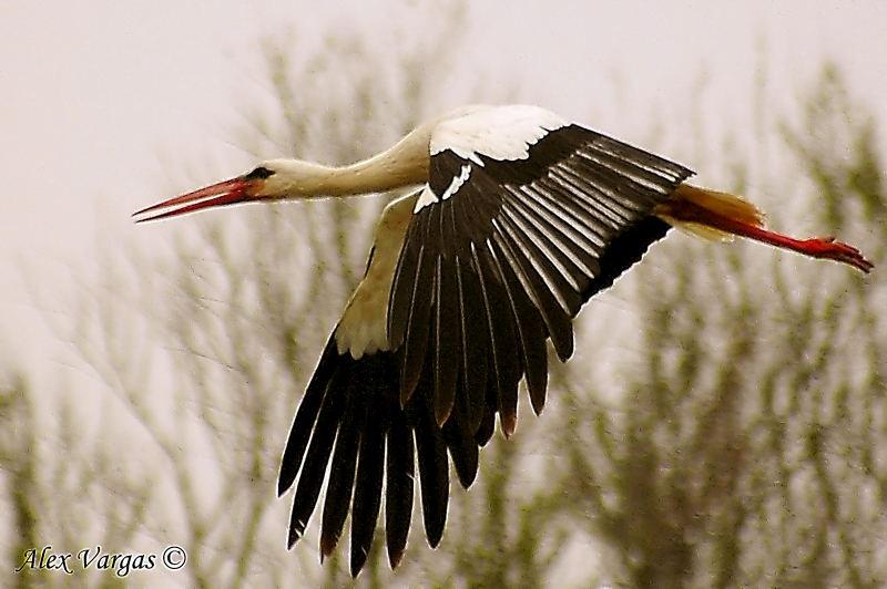 White Stork flight