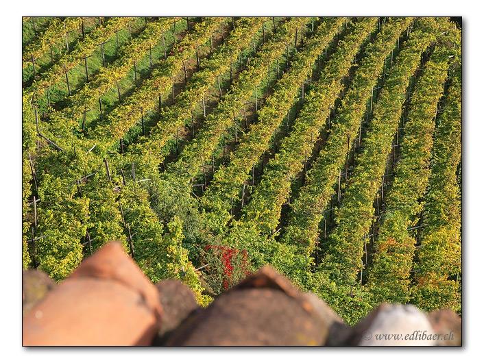 In the vineyard / Im Rebberg