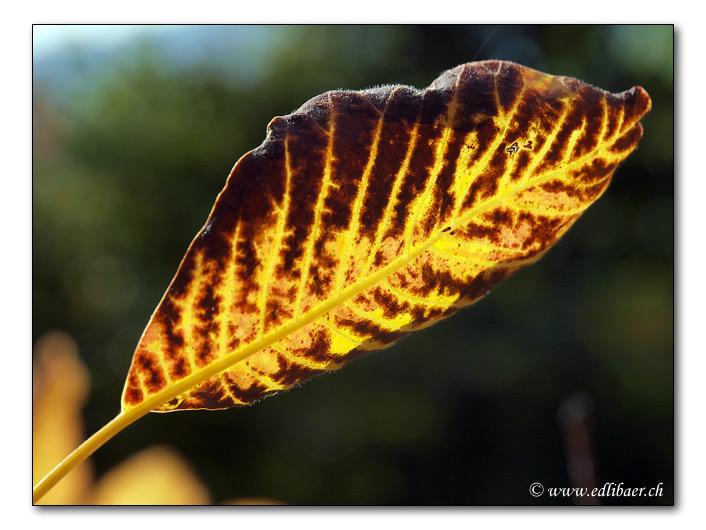 Herbstlaub / autumn foliage (8790)