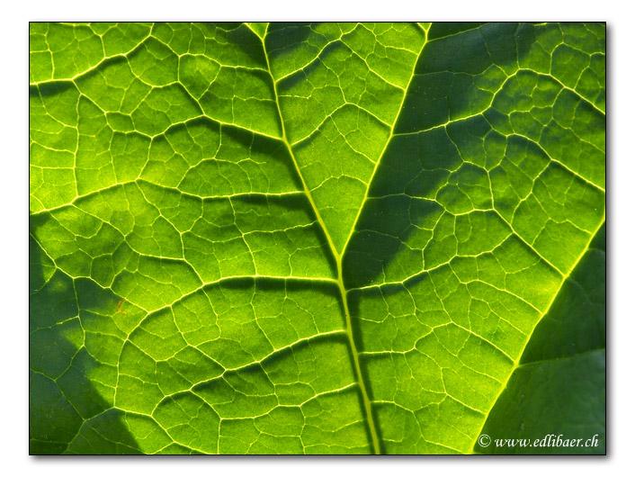 Rhabarberblatt / rhubarb (4131)