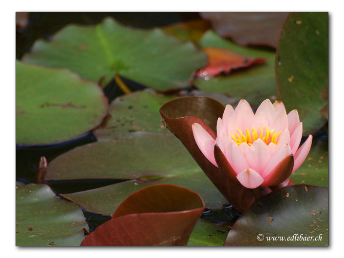 water lily / Seerose / Nymphaea (4267)