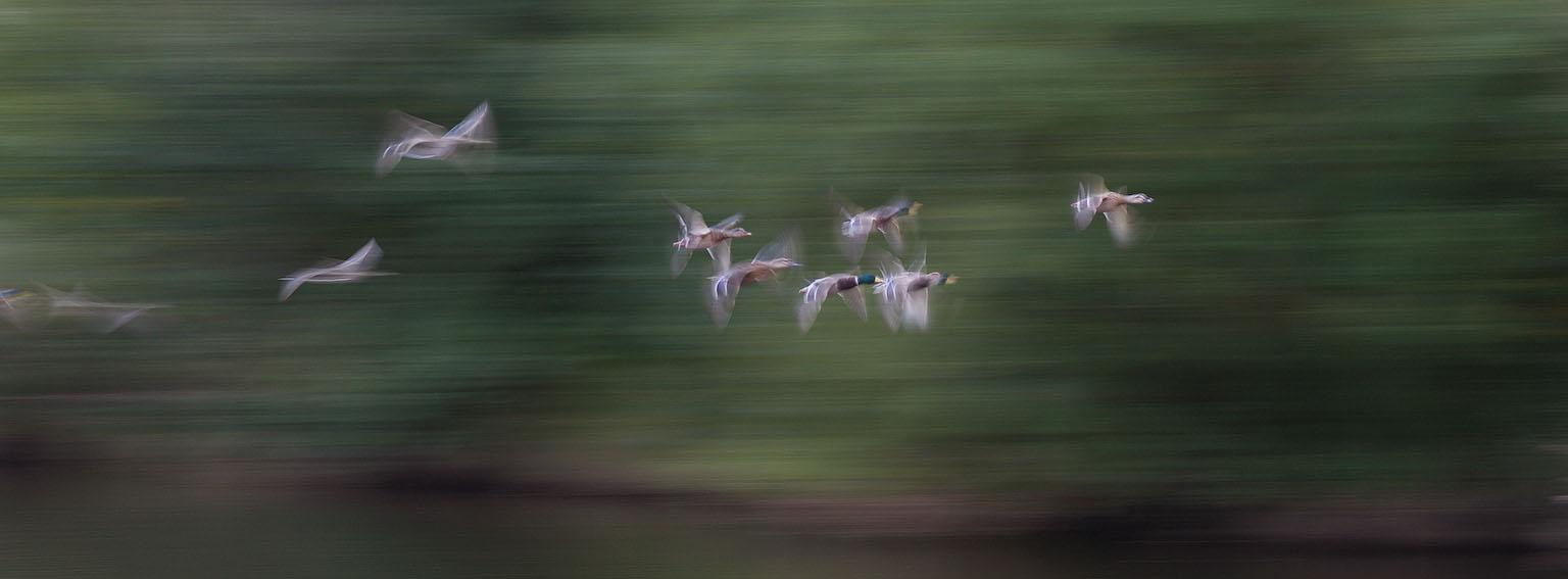 duckflightpan.jpg