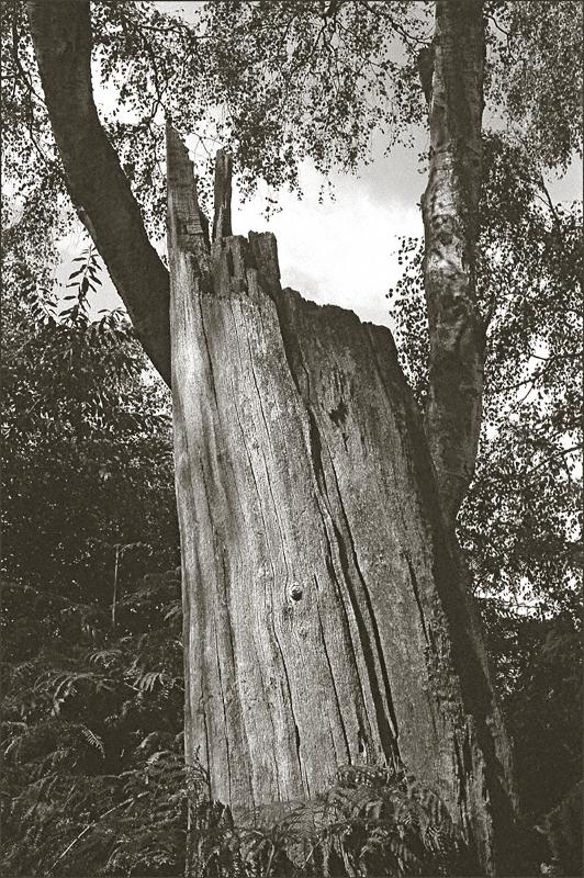 THE OLD OAK, SHERWOOD FOREST