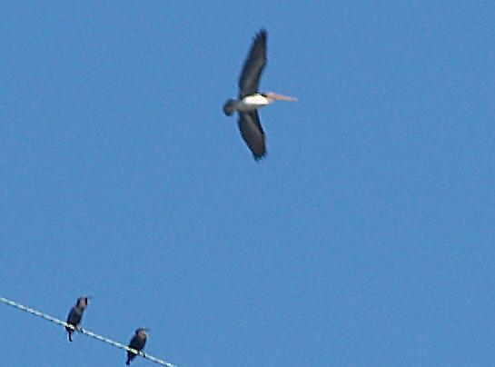 Brown Pelican - 11-2-08 TVA Lake