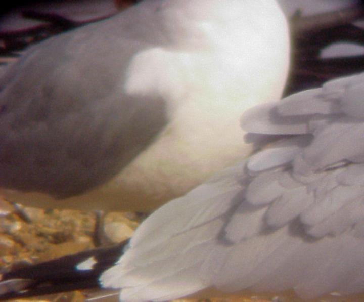 Ring-billed Gull - Laughing Gull - Hybrid - 12-13-08