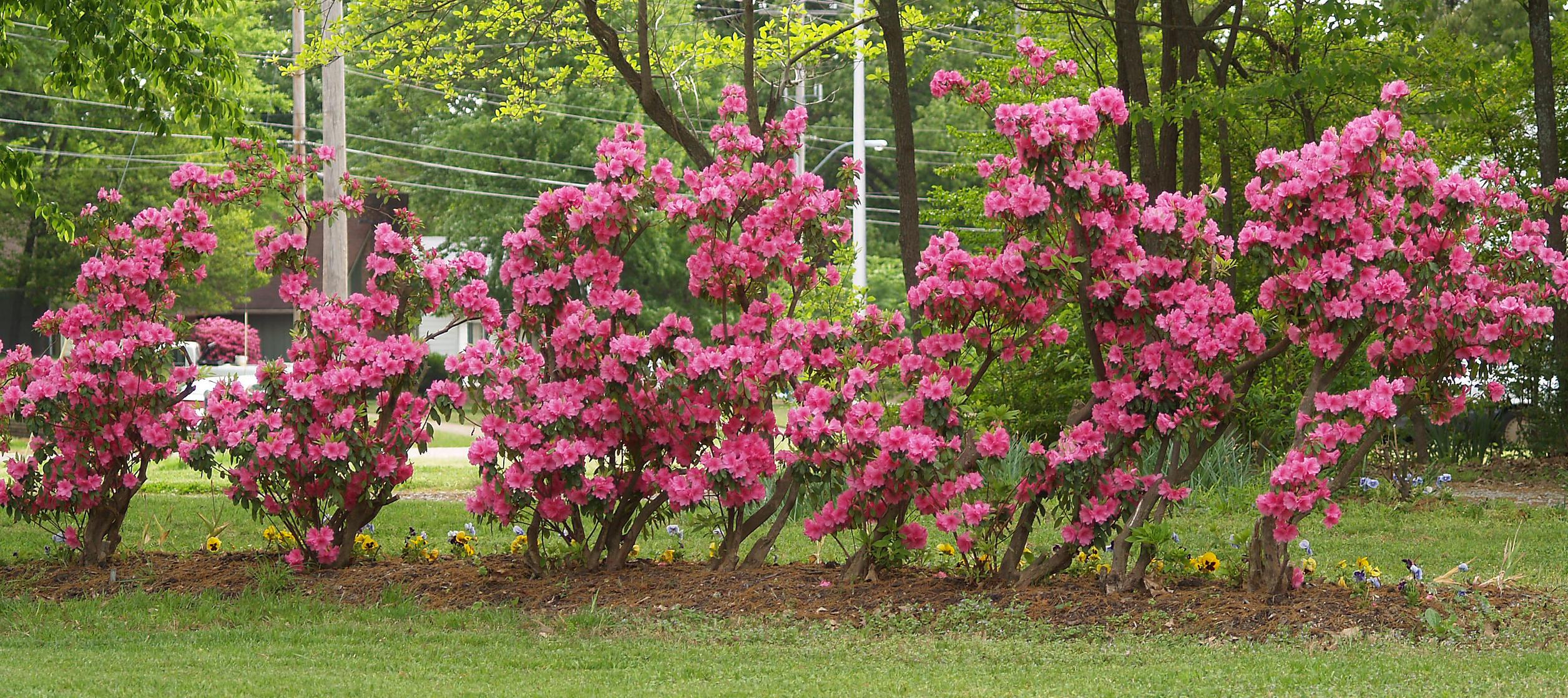 House - Flowers - 4-18-10 Azaleas