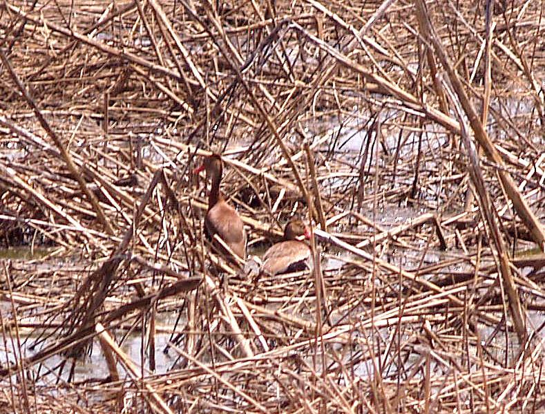 Black-bellied Whistling Duck - 6-7-08 Ensley pair