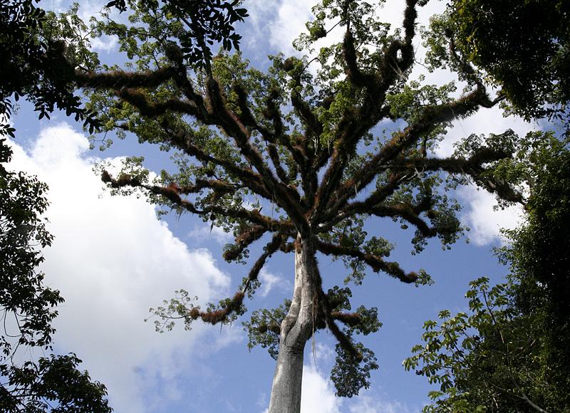 top of ceiba tree 2629