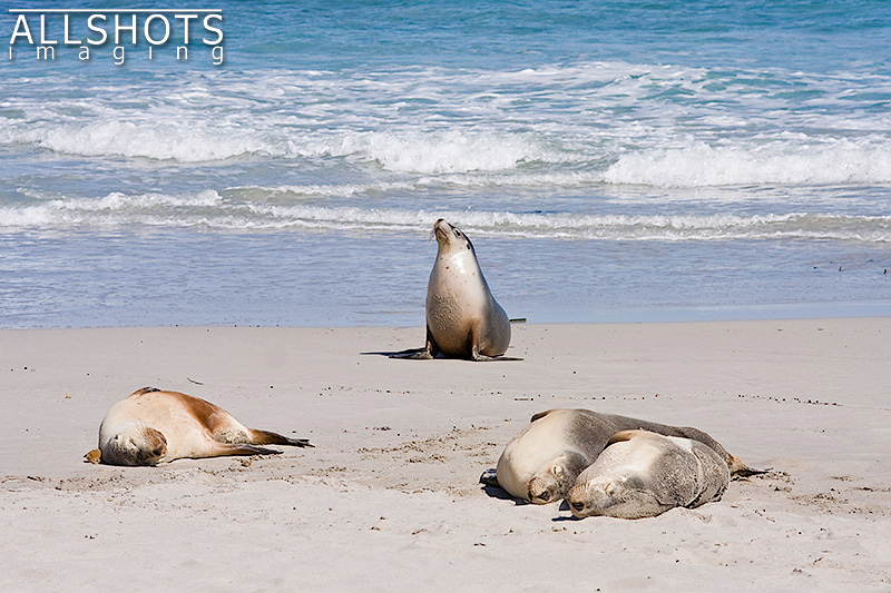 Seal_Bay_Sealions_#1.jpg
