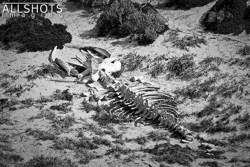 Seal_Bay_Whale_Skeleton.jpg