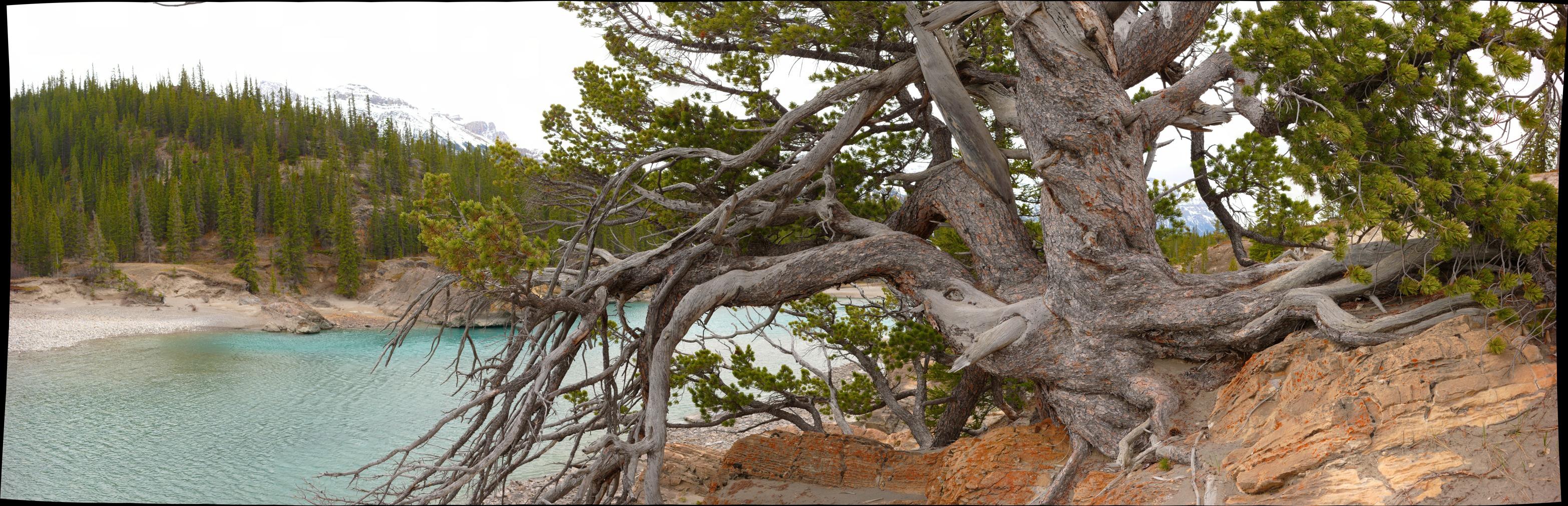 Ancient Pine, Whirlpool point 10.jpg