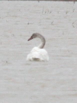 5090 Swan.JPG