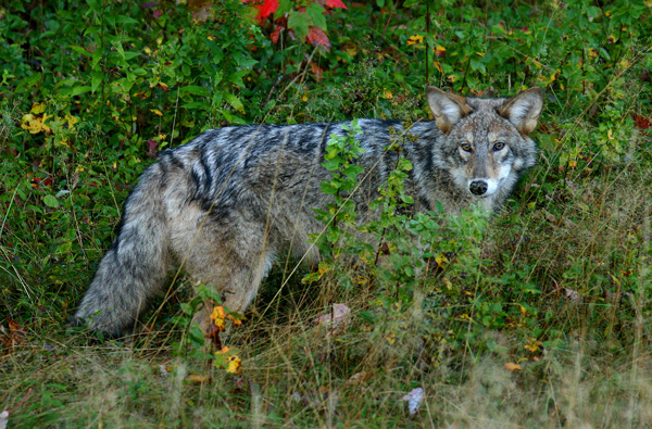 Coyote in Gulf of Slides (b)
