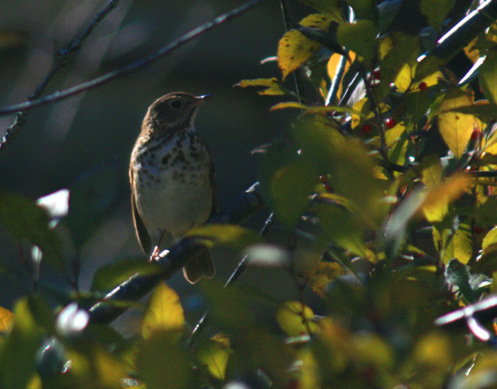 Bicknells Thrush Before Migration