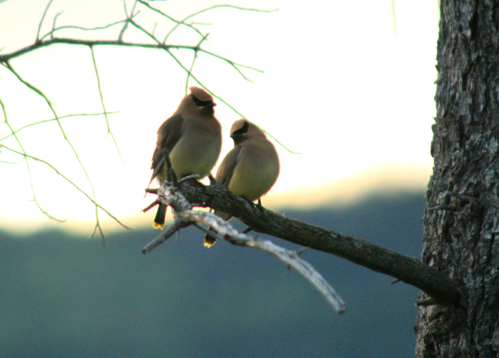 Cedar Waxwings In Love