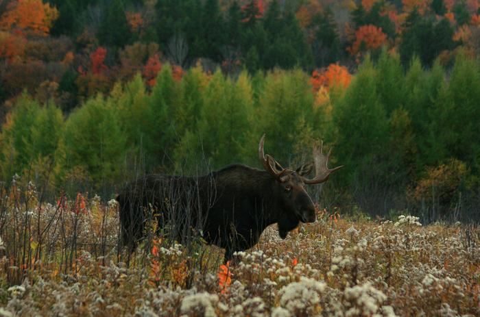 Bull Moose in Autumn