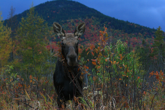 Yearling Bull Moose Browsing Pincherry