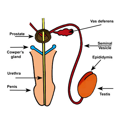 male-accessory<br>reproductive-structures