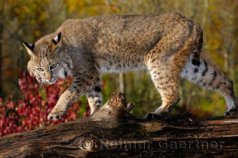 177 Bobcat 1.jpg
