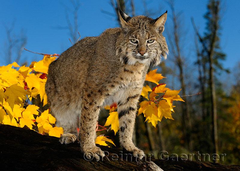 177 Bobcat 6.jpg