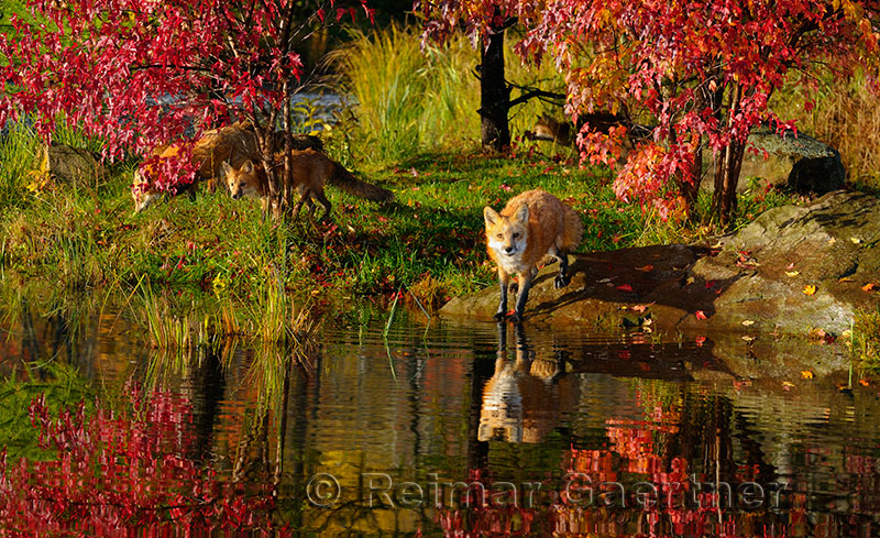 177 Foxes 3.jpg