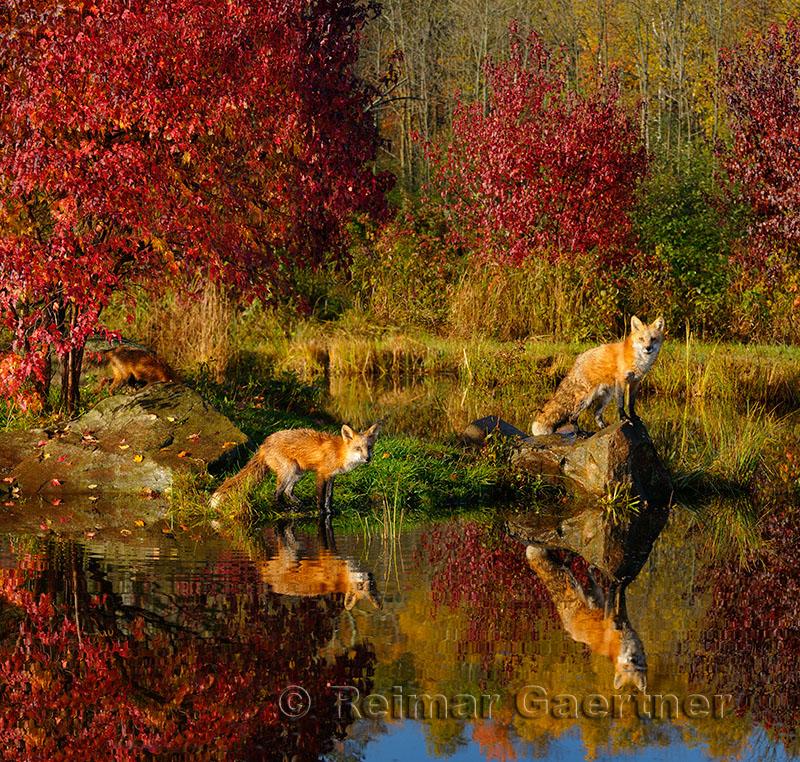 177 Foxes 4.jpg