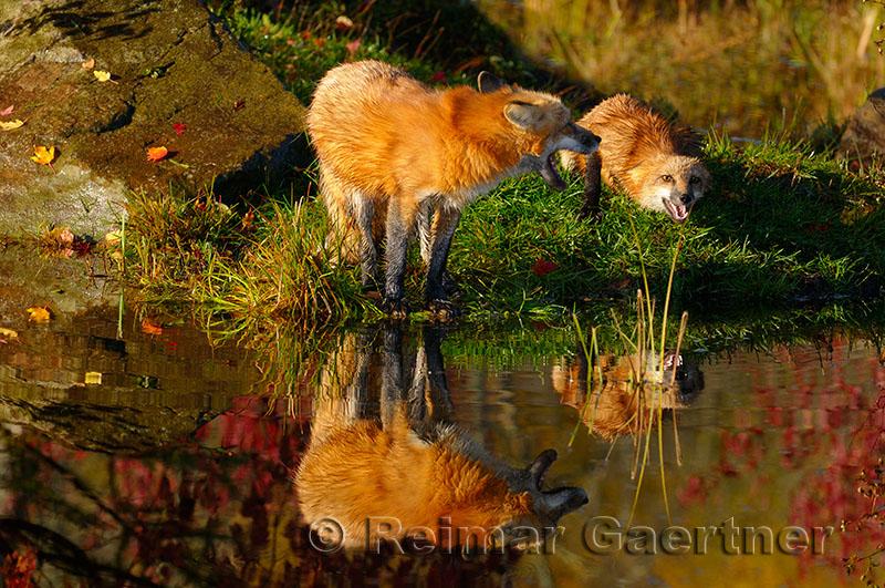 177 Foxes 7.jpg