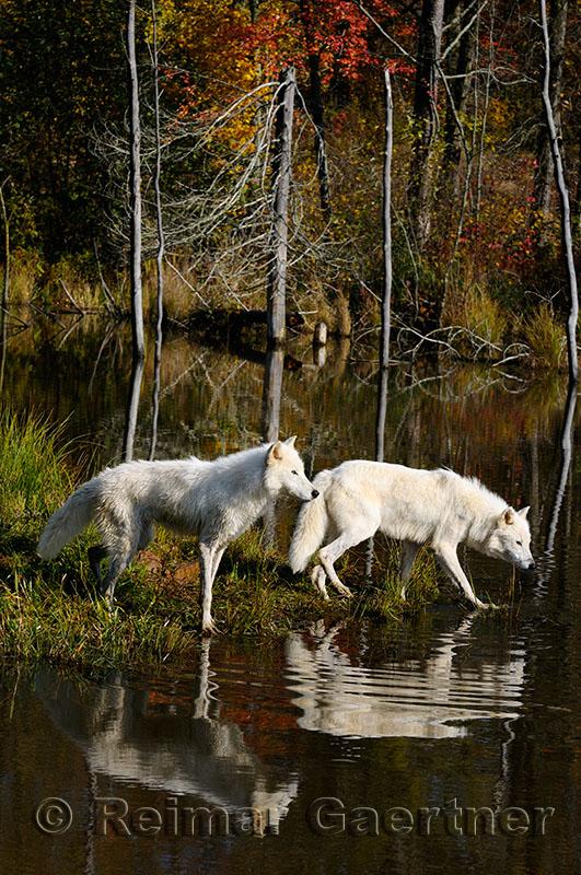 178 Arctic Wolves 2.jpg