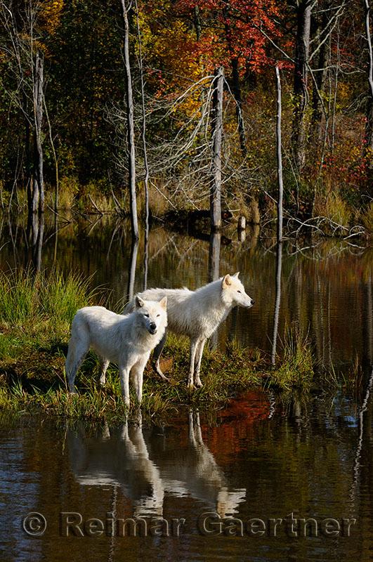 178 Arctic Wolves 3.jpg