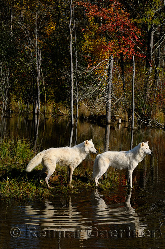 178 Arctic Wolves 6.jpg