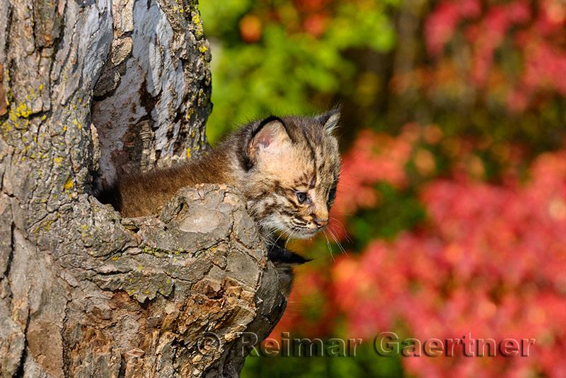 178 Bobcat kittens 3.jpg