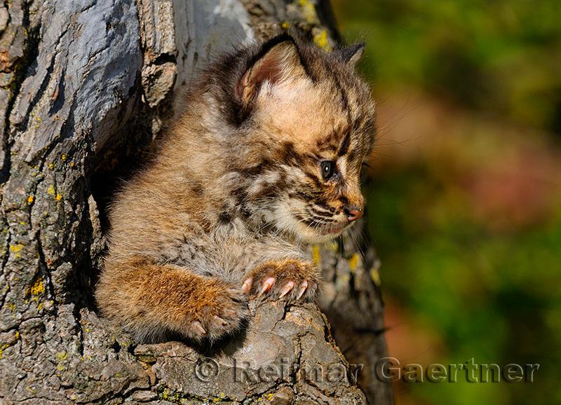 178 Bobcat kittens 7.jpg