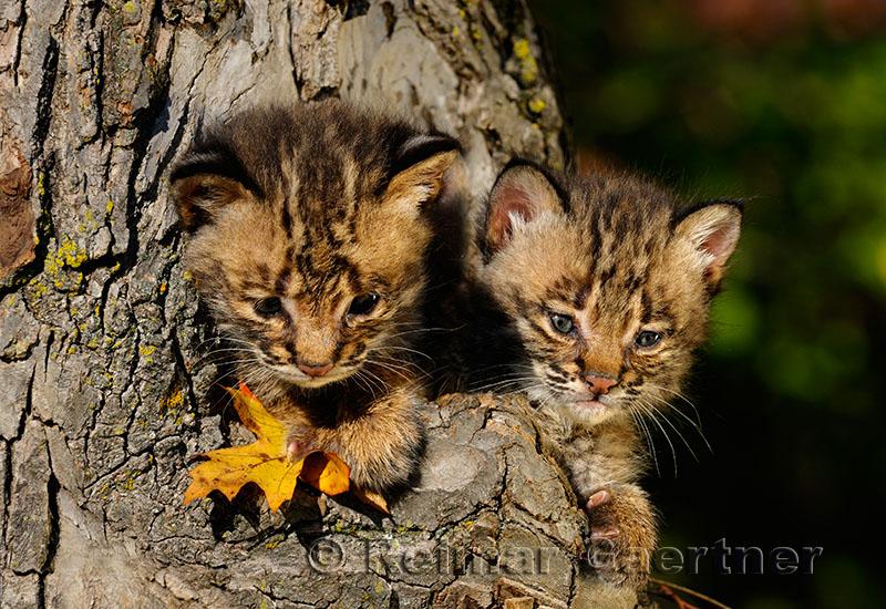 178 Bobcat kittens 12.jpg