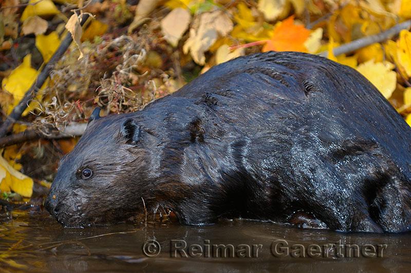 179 Beaver 4.jpg