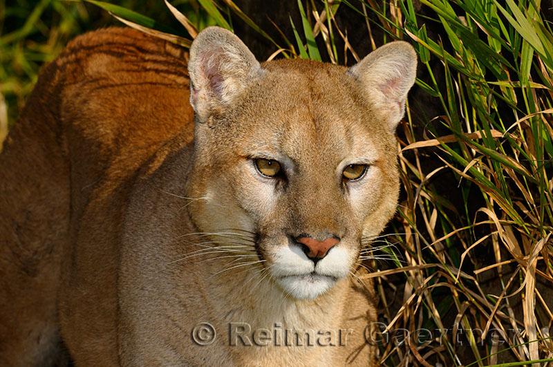 179 Cougar 6.jpg