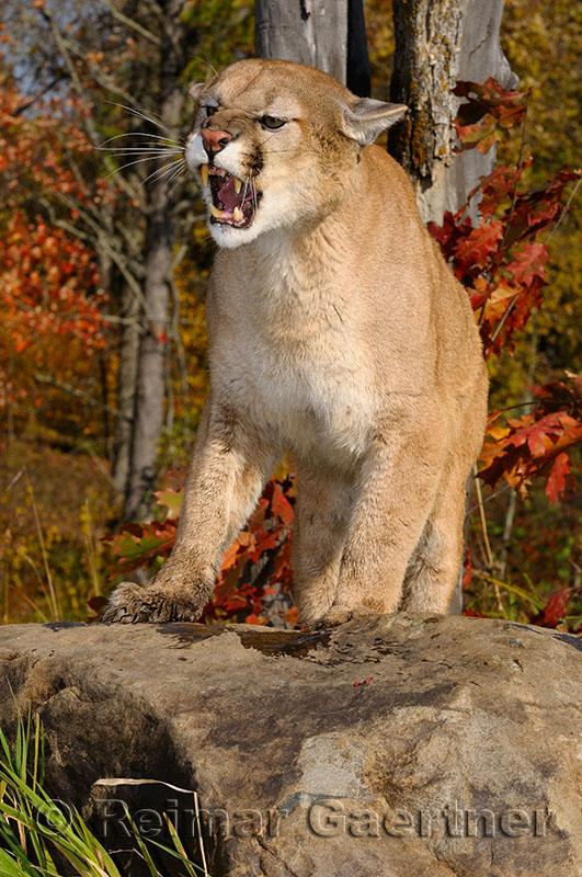 179 Cougar 7.jpg