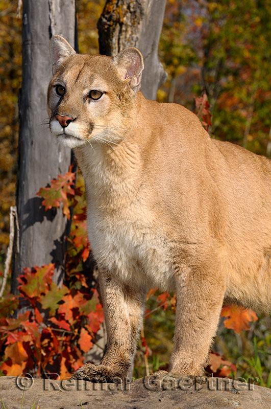 179 Cougar 9.jpg