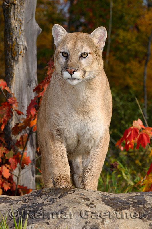 179 Cougar 14.jpg